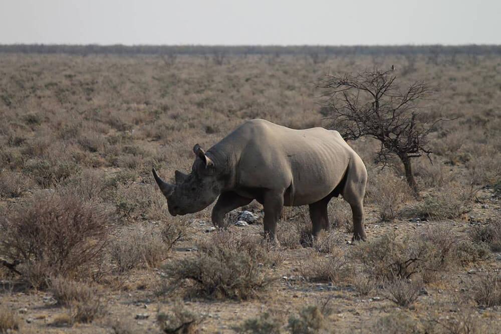 Rhino Trekking Namibia